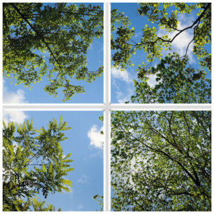Big trees towering overhead with green leaves under a sunny sky as an artificial skylight